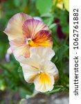 two beautiful flowers  heart's... | Shutterstock . vector #1062761882