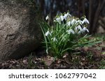 group of blooming galanthus ... | Shutterstock . vector #1062797042