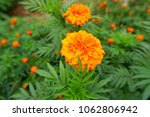 Small photo of Big Marigolds in garden green leaves blackground blur. (Tagetes erecta, Mexican marigold, Aztec marigold, African marigold)