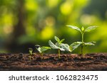 plant coffee seedlings in nature | Shutterstock . vector #1062823475