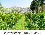 beautiful green view of vinery... | Shutterstock . vector #1062823928