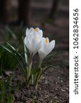blooming white flowers crocuses.... | Shutterstock . vector #1062834656