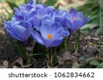 blooming blue flowers crocuses. ... | Shutterstock . vector #1062834662
