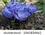 blooming blue flowers crocuses. ...   Shutterstock . vector #1062834662