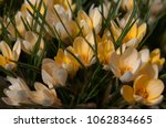 blooming yellow flowers...   Shutterstock . vector #1062834665