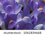 blooming purple flowers...   Shutterstock . vector #1062834668