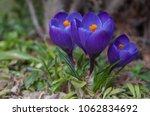 blooming three purple flowers...   Shutterstock . vector #1062834692