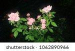 Stock photo bunch of rose in garden 1062890966