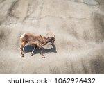 big horn sheep | Shutterstock . vector #1062926432