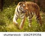 an amur tiger enters the village | Shutterstock . vector #1062939356