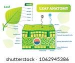leaf anatomy vector... | Shutterstock .eps vector #1062945386
