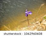 little purple flower on the... | Shutterstock . vector #1062960608