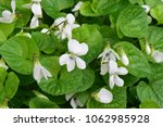 sweet viola white flowers.... | Shutterstock . vector #1062985928