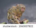 Pygmy Marmoset Cebuella Pygmaea