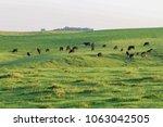 herd of black angus cattle...   Shutterstock . vector #1063042505