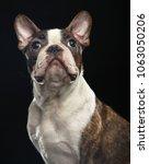 boston terrier dog on isolated... | Shutterstock . vector #1063050206