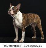 boston terrier dog on isolated... | Shutterstock . vector #1063050212