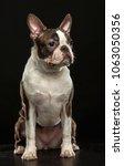 boston terrier dog on isolated... | Shutterstock . vector #1063050356