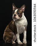 boston terrier dog on isolated... | Shutterstock . vector #1063050566