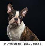 boston terrier dog on isolated... | Shutterstock . vector #1063050656