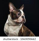 boston terrier dog on isolated... | Shutterstock . vector #1063050662