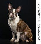 boston terrier dog on isolated... | Shutterstock . vector #1063050776