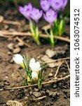 single blooming purple flower...   Shutterstock . vector #1063074512
