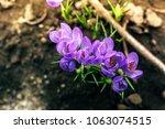 single blooming purple flower...   Shutterstock . vector #1063074515