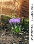 single blooming purple flower...   Shutterstock . vector #1063074518