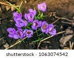 single blooming purple flower...   Shutterstock . vector #1063074542