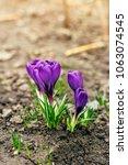 single blooming purple flower...   Shutterstock . vector #1063074545