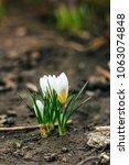 single blooming white flower...   Shutterstock . vector #1063074848