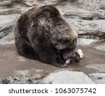grizzly bear eating flesh off a ...   Shutterstock . vector #1063075742