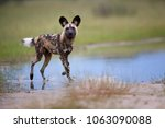 african wild dog  lycaon pictus ... | Shutterstock . vector #1063090088