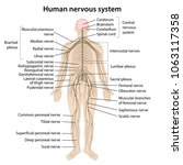 human nervous system with main...   Shutterstock .eps vector #1063117358