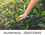 women's hand collects the green ... | Shutterstock . vector #1063133642