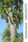 Small photo of North American Elm in a park