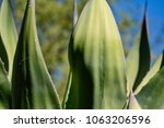 Small photo of Close-up of an agave weberi reiner plant against a soft focus background