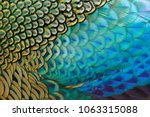 beautiful feathers of male... | Shutterstock . vector #1063315088