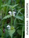 Small photo of Portrait of White Dead-nettle (Lamium album) plant with white hairy flowers, hoary crinkled green leaves and stem, imitating stinging nettle, commonly found on road side in grass stems.