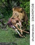 male lion with impala carcass... | Shutterstock . vector #1063409108