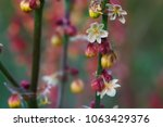 blooming sticky catchflies ... | Shutterstock . vector #1063429376