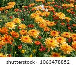colorful chrysanthemum flower. | Shutterstock . vector #1063478852