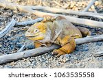 Yellow Land Iguana   Galapagos...