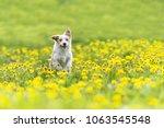 Stock photo cute terrier dog running on dandelion grass field dog run in spring garden fiel 1063545548