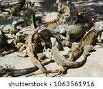 slaughter of iguanas in the... | Shutterstock . vector #1063561916
