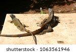 a big and small iguana lie flat ... | Shutterstock . vector #1063561946
