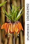 blooming crown imperial in... | Shutterstock . vector #1063563902