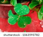Close Up Of Clover With...