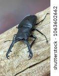 giraffe stag beetle  ...   Shutterstock . vector #1063602662